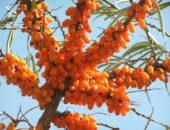 Облепиха: целебные свойства и витамины