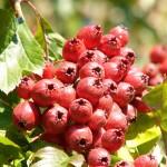 Crataegus fruit / боярышника плоды инструкция по применению, противопоказания, побочные эффекты, отзывы