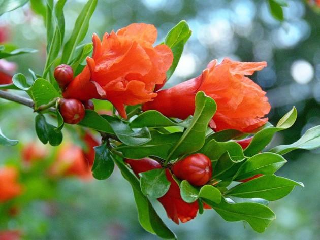 Цветы граната
