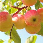 Яблоки при беременности и грудном вскармливании