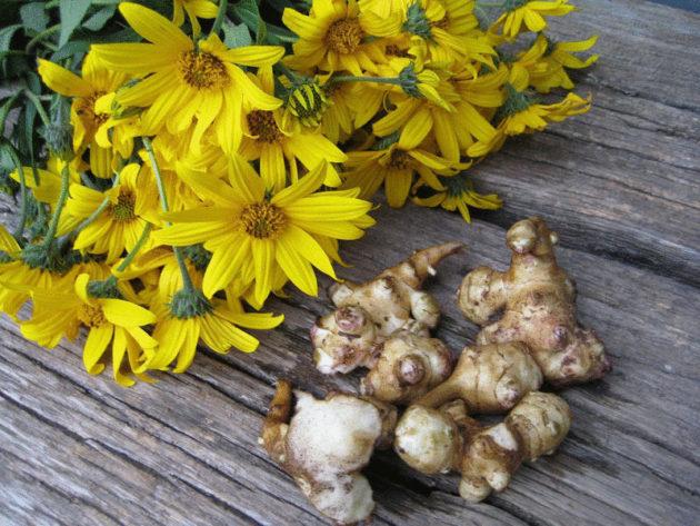 Топинамбур, корни и цветы