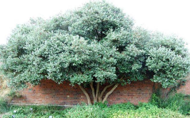 Дерево фейхоа
