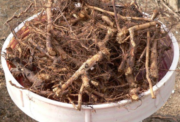 корень шиповника