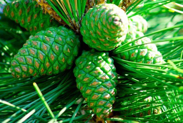 Зелёные шишки сосны