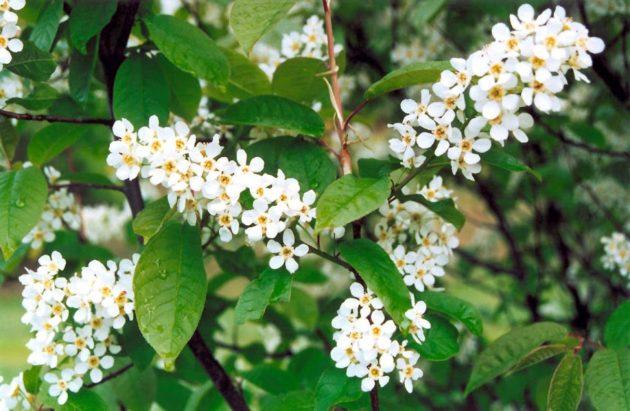 Цветение черёмухи