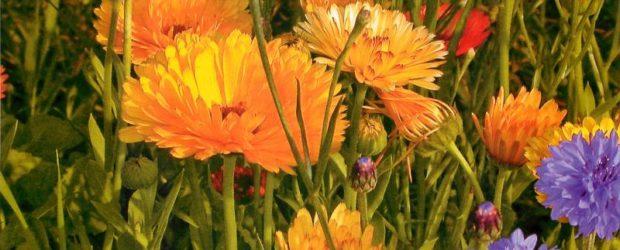 Цветёт календула