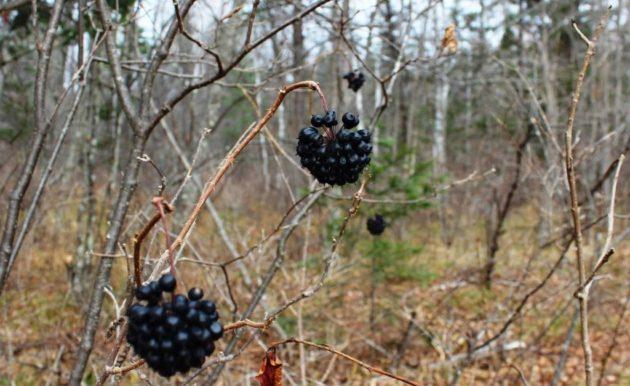 Колючий куст элеутерококка с ягодами