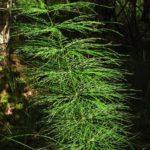 Хвощ лесной