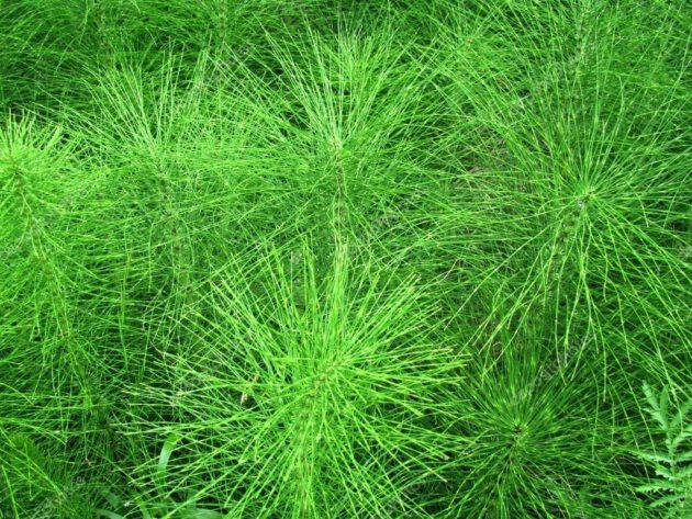 Зелёные заросли хвоща