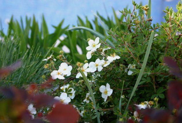 Кустик пятипала среди трав