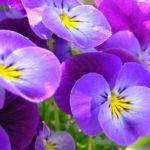 Целебное очарование фиалки: лечебные свойства и простые рецепты