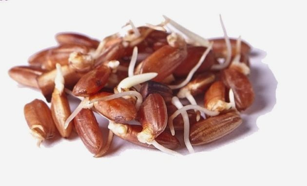 Горстка пророщенного красного риса