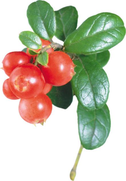 Брусника: ягоды с листиками