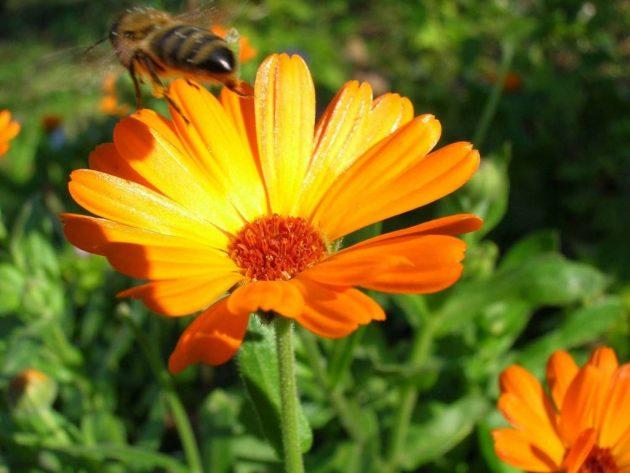 Цветок календулы