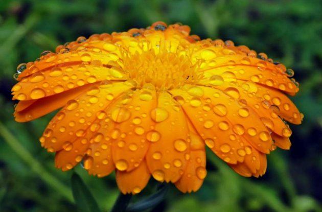 Цветок календулы в росе