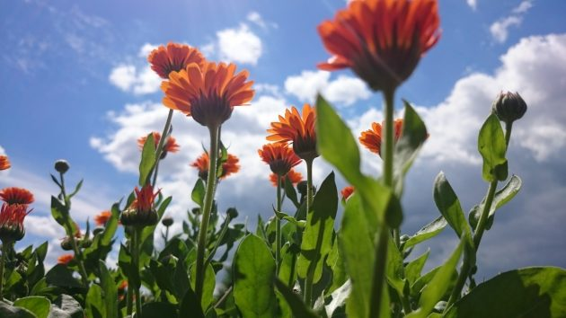 Цветущая календула