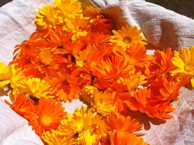 Цветы календулы — жёлтые и оранжевые