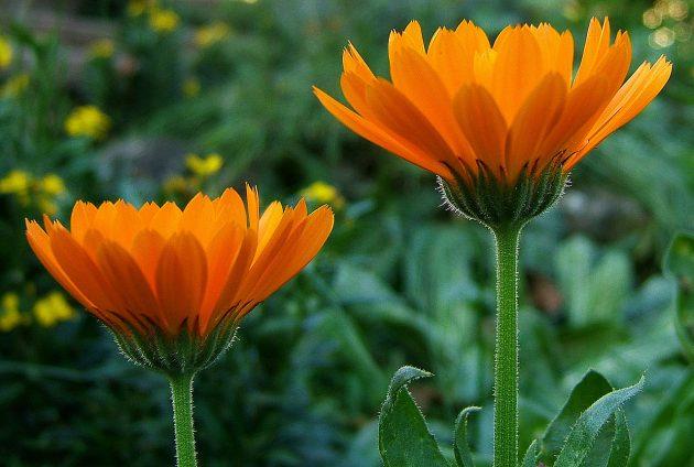 Два цветка календулы