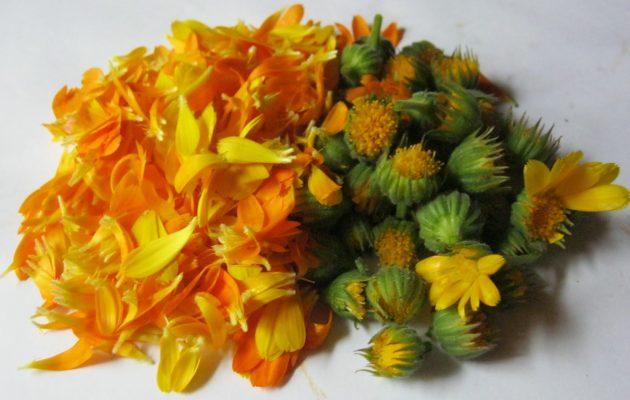 Лепестки и цветки календулы