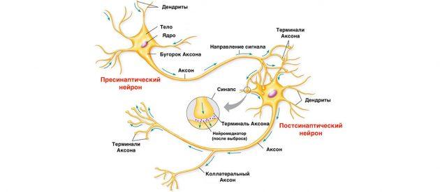 Схема строения нейронных связей