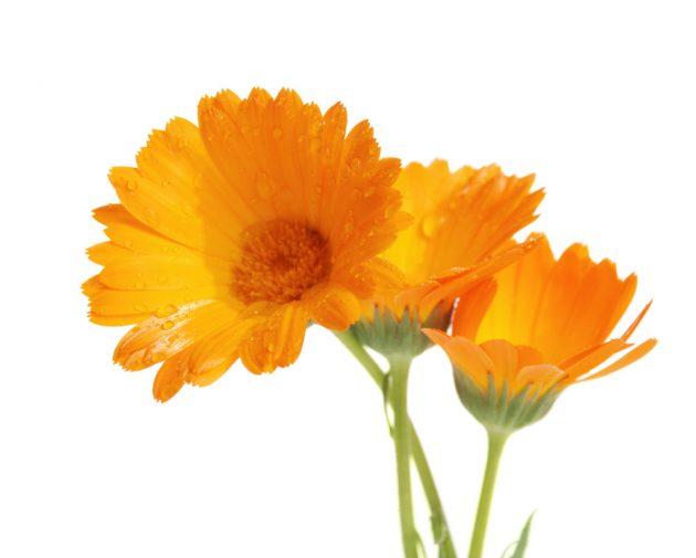 Три цветка календулы