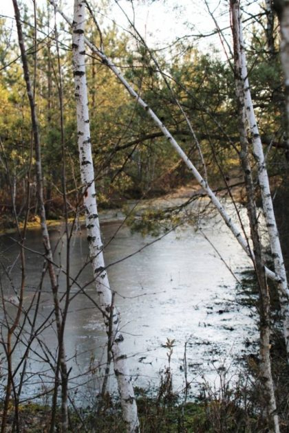 Берёзы на болоте