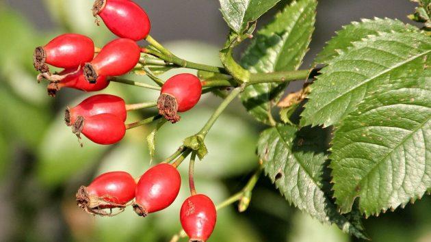 Гроздь ягод шиповника