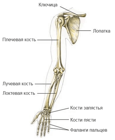 Скелет верхней конечности