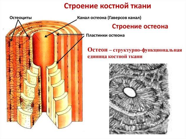 Строение костной ткани (схема)