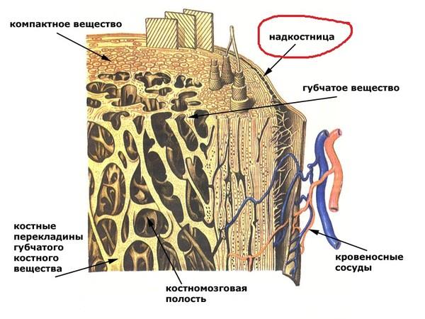 Строение кости (схема)