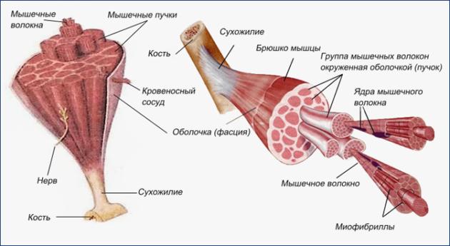 Строение скелетной мышцы (схема)