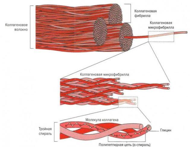 Структура сухожилия