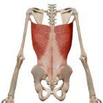 Фрагмент скелета с выделенной широчайшей мышцей