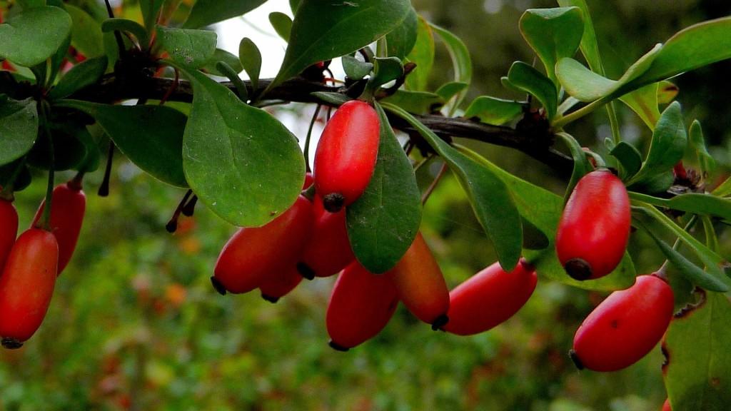 Спелые ягоды барбариса на ветке