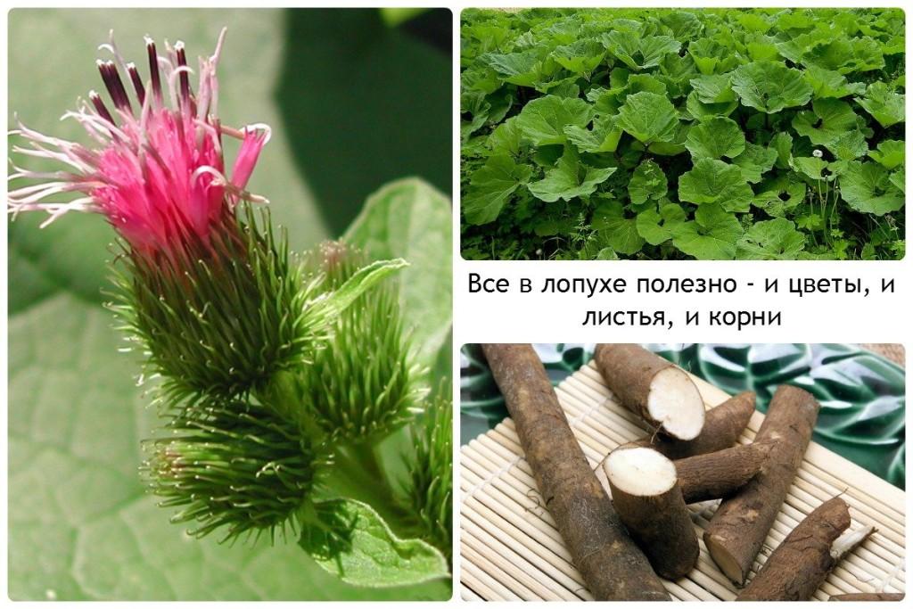 Все в лопухе полезно - и цветы, и листья, и корни