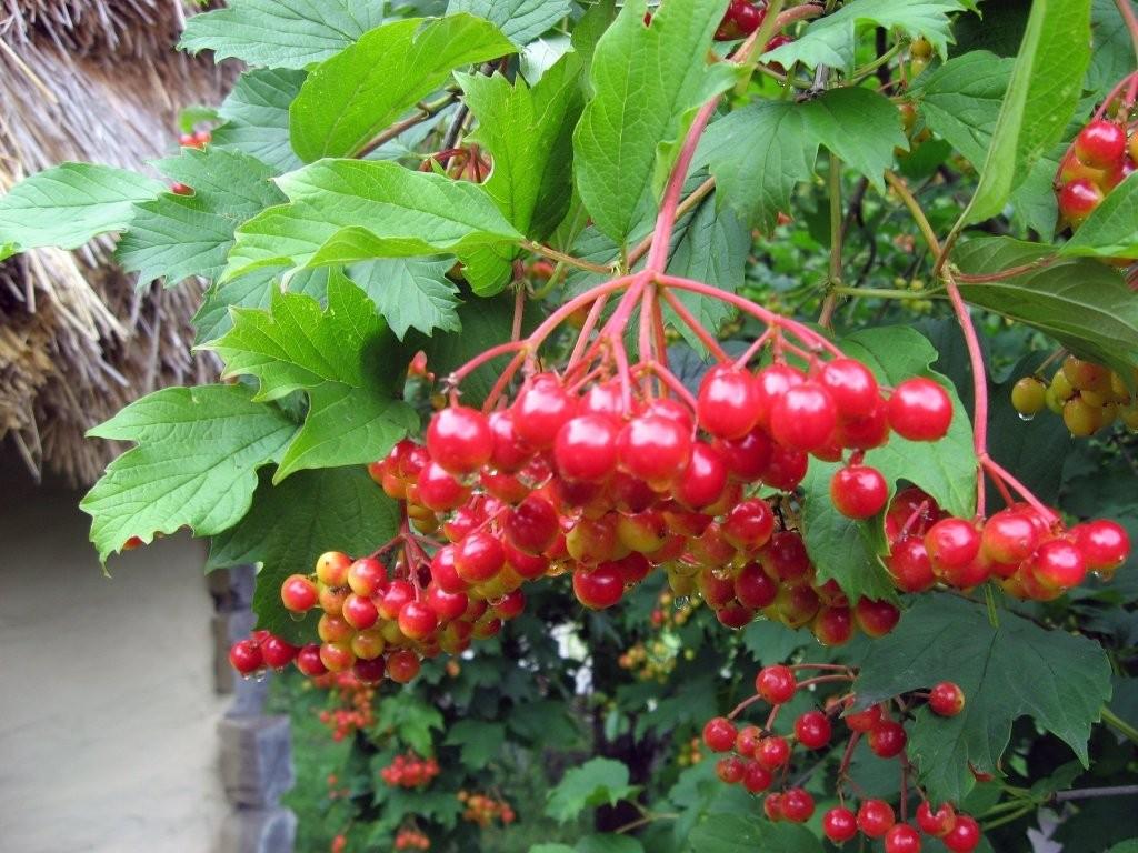 живая ветвь лекарственной калины