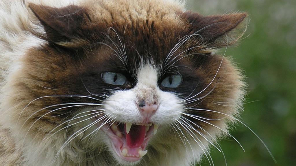 Бешенный кот