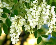 Акация белая — душистое лекарство