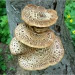 Чага: полезные свойства берёзового гриба
