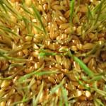 Как правильно употреблять пророщенное зерно и чем оно полезно