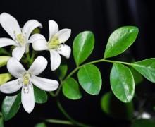Цветки и листья бергамота