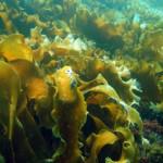 консервированная морская капуста