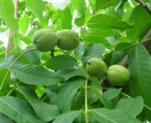 Зелёный грецкий орех