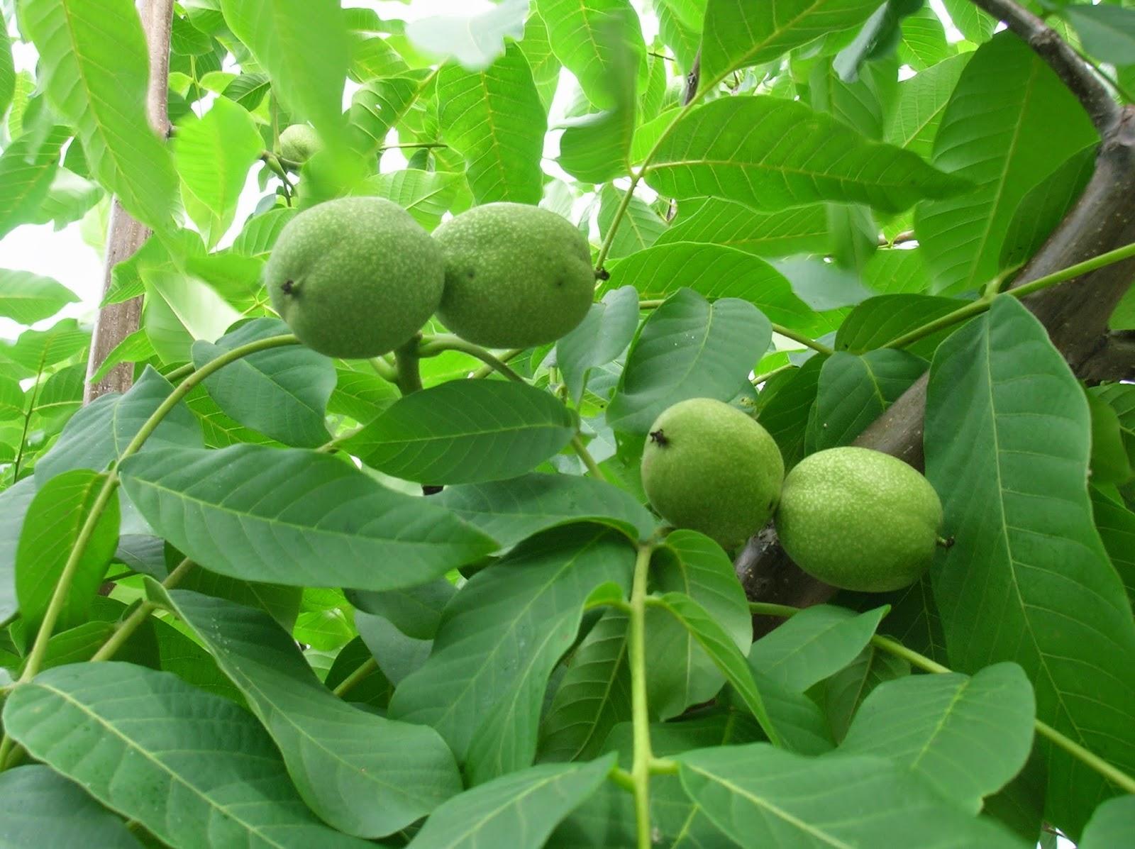 Варенье из грецкого ореха полезные свойства