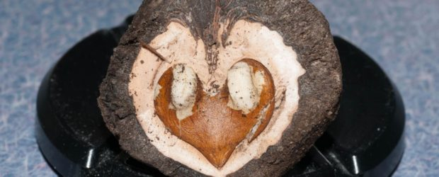 Juglans nigra, черный американский орех