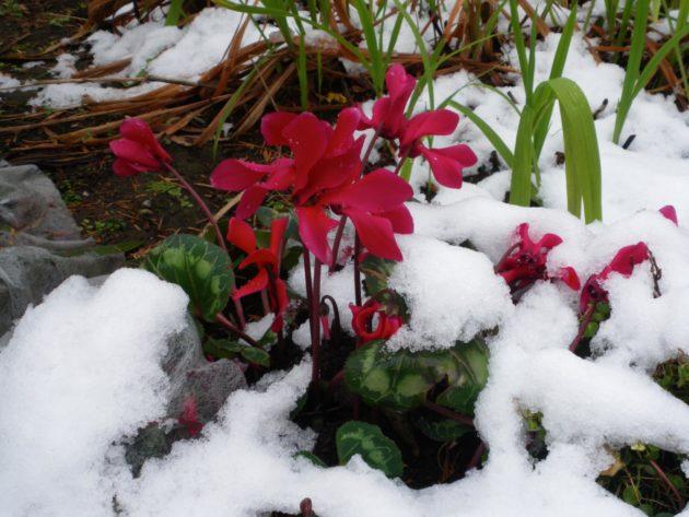 Цикламен под снегом
