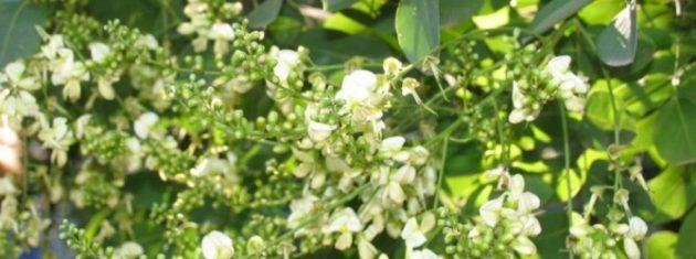 Цветы софоры