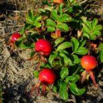 Корень шиповника: полезные свойства и противопоказания