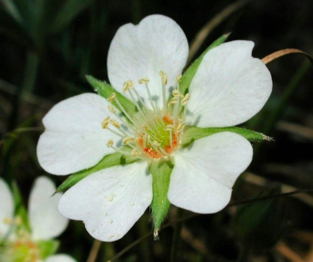Цветок альбы