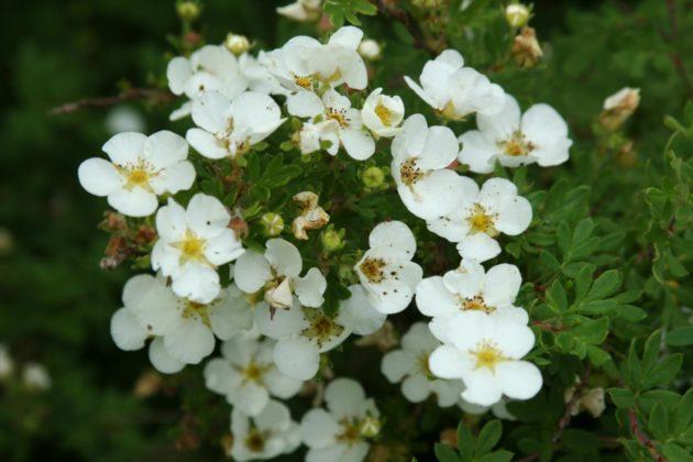 Цветущий куст лапчатки белой